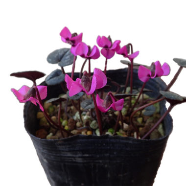 Cyclamen alpinum アルピナム