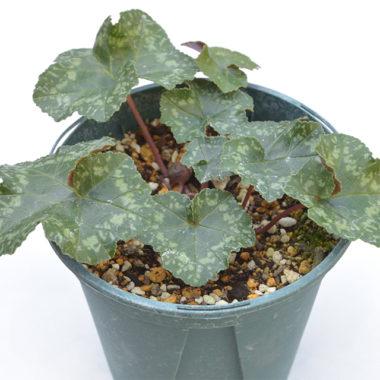 Cyclamen rohlfsianum ローフシアナム